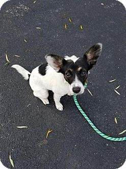 Rat Terrier Mix Puppy for adoption in Plainfield, Illinois - Irene