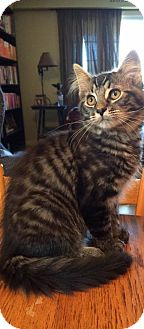 Domestic Mediumhair Kitten for adoption in Lindsay, Ontario - Maple