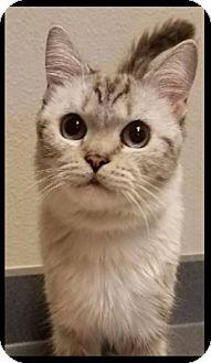 Siamese Cat for adoption in Gilbert, Arizona - Tippin