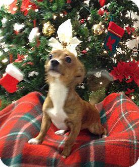 Chihuahua Puppy for adoption in Lebanon, Missouri - Isabella