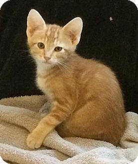Domestic Shorthair Kitten for adoption in West Des Moines, Iowa - Hays