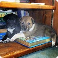 Adopt A Pet :: Puppies - Denver, CO