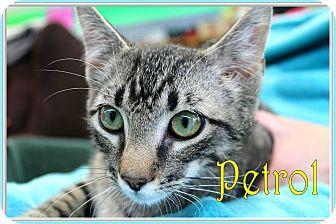 Domestic Mediumhair Kitten for adoption in Wichita Falls, Texas - Petrol