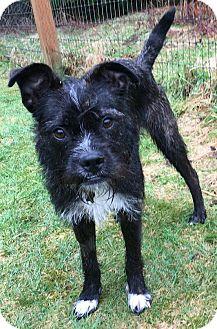 """Boston Terrier/Border Terrier Mix Dog for adoption in Seattle, Washington - """"Freida"""""""