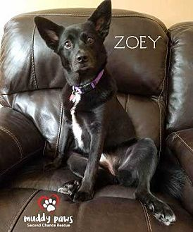 Labrador Retriever/Shepherd (Unknown Type) Mix Dog for adoption in Council Bluffs, Iowa - Zoey (Courtesy Post)