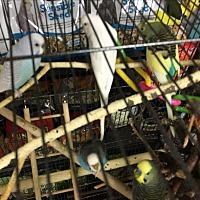 Adopt A Pet :: 7 Parakeets - Punta Gorda, FL