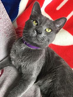 Domestic Shorthair Cat for adoption in St. Louis, Missouri - Samwell Tarly