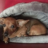 Dachshund Dog for adoption in Pearland, Texas - Taylor