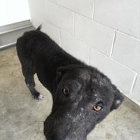 Adopt A Pet :: Scarlet - Kirby, TX