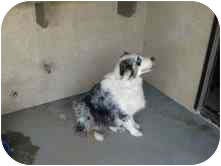Australian Shepherd Dog for adoption in San Fernando Valley, California - Toby