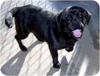 Pug Mix Dog for adoption in Albany, Georgia - Bowser