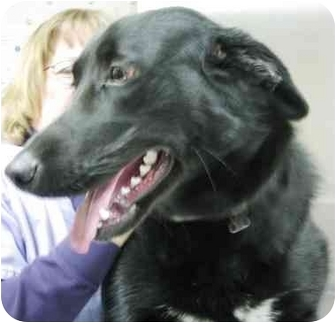 Corgi/Labrador Retriever Mix Dog for adoption in Alden, Iowa - Buddy