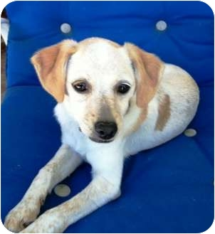 Beagle/Dachshund Mix Puppy for adoption in West Los Angeles, California - Willow