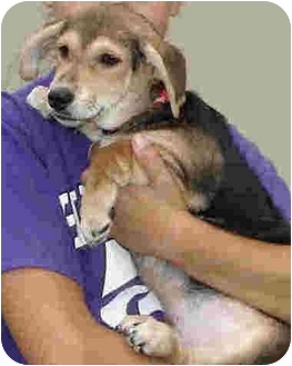 Beagle/Terrier (Unknown Type, Small) Mix Dog for adoption in Kingwood, Texas - Nickey