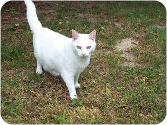 Domestic Shorthair Cat for adoption in Chester, Virginia - Lily