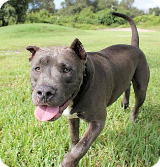 American Pit Bull Terrier/Mastiff Mix Dog for adoption in Ft. Myers, Florida - Duke