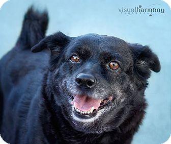 Schipperke/Pug Mix Dog for adoption in Phoenix, Arizona - MOLLY