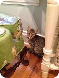 Domestic Shorthair Kitten for adoption in Tampa, Florida - Bert
