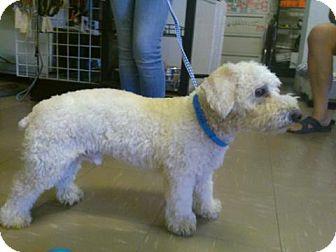 Bichon Frise/Poodle (Miniature) Mix Dog for adoption in Las Vegas, Nevada - Boomer