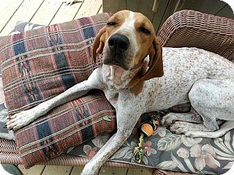 English (Redtick) Coonhound Dog for adoption in Leesburg, Virginia - Rhonda