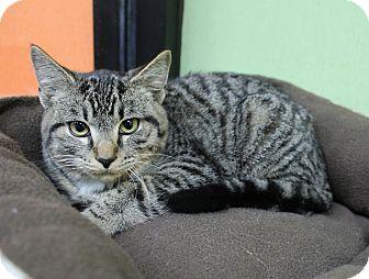 Domestic Shorthair Kitten for adoption in Benbrook, Texas - Lou