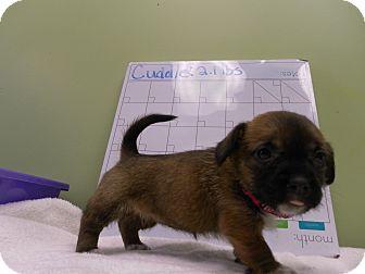 Corgi/Schnauzer (Standard) Mix Puppy for adoption in Groton, Massachusetts - Cuddles