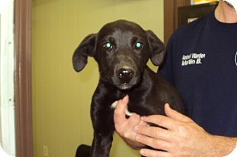 Labrador Retriever Mix Puppy for adoption in Mt. Vernon, Illinois - Dynasty