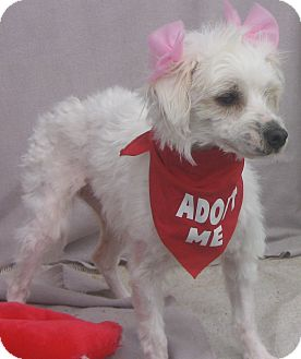 Maltese Mix Dog for adoption in Irvine, California - Jenny-WATCH MY VIDEO!!!