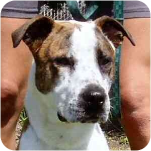 American Staffordshire Terrier Mix Dog for adoption in Berkeley, California - Harry