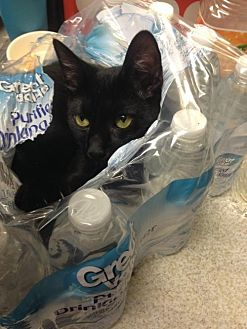 Domestic Shorthair Cat for adoption in St. Cloud, Florida - Sheridan