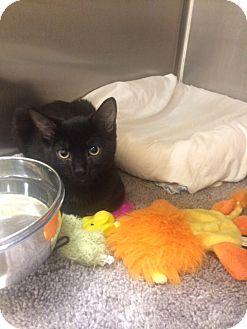 Domestic Shorthair Cat for adoption in Irwin, Pennsylvania - Blackie