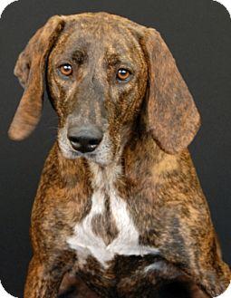 Plott Hound Mix Dog for adoption in Newland, North Carolina - Knuckles