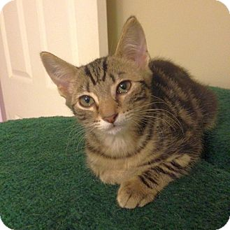 Domestic Shorthair Kitten for adoption in Knoxville, Tennessee - Kelly