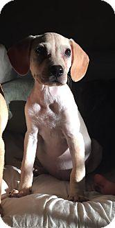 Labrador Retriever Mix Puppy for adoption in Chicago, Illinois - Wednesday