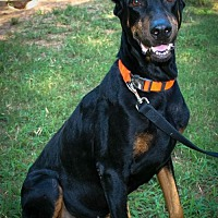 Doberman Pinscher Dog for adoption in Houston, Texas - Boris