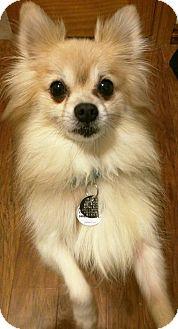 Pomeranian Dog for adoption in Norman, Oklahoma - Rocket