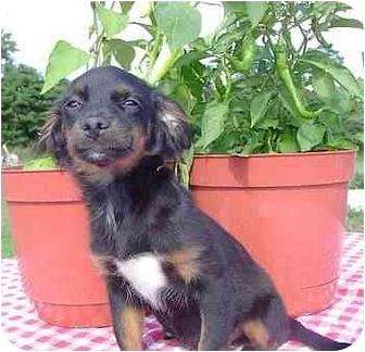 Dachshund/Chihuahua Mix Puppy for adoption in McArthur, Ohio - JOSIE