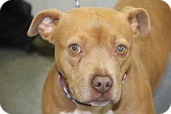 Pit Bull Terrier Mix Dog for adoption in Greensboro, North Carolina - Rachel