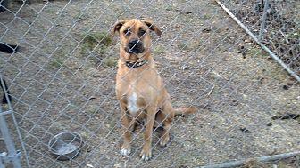 Rhodesian Ridgeback/Shepherd (Unknown Type) Mix Dog for adoption in Winchester, California - Pismo