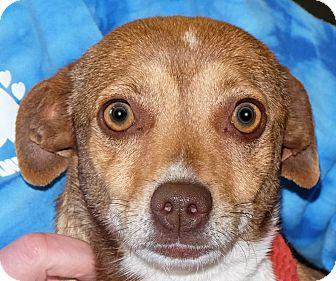 Rat Terrier Mix Dog for adoption in Spokane, Washington - Brandy
