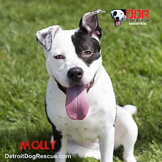 Terrier (Unknown Type, Medium) Mix Dog for adoption in St. Clair Shores, Michigan - Molly