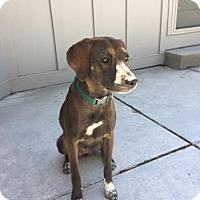 Adopt A Pet :: Virginia Woof - Kansas City, MO