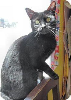 Domestic Shorthair Cat for adoption in Waupaca, Wisconsin - Katie