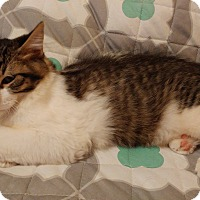 Domestic Longhair Kitten for adoption in Wichita, Kansas - Scamp