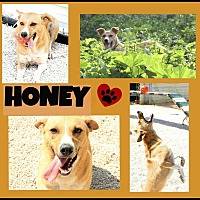Adopt A Pet :: Honey - Cambridge, ON