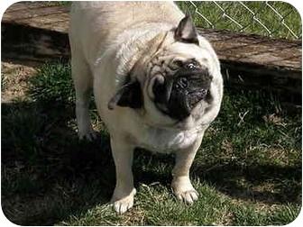 Pug Dog for adoption in Meridian, Idaho - Tank
