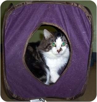 Domestic Longhair Cat for adoption in Oklahoma City, Oklahoma - Bugsy Malone