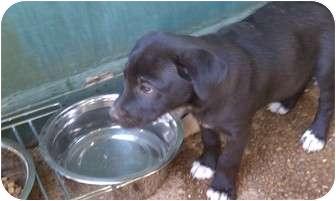 Labrador Retriever/Feist Mix Puppy for adoption in Salem, New Hampshire - Daisy Mae