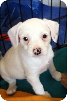 Pug/Terrier (Unknown Type, Small) Mix Puppy for adoption in El Segundo, California - Channel
