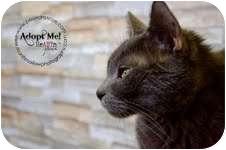 Domestic Shorthair Cat for adoption in Okotoks, Alberta - Steele
